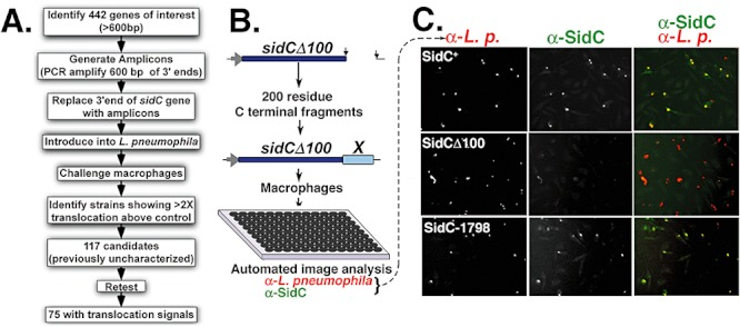 SidC fusion assay allows identification of carboxyl terminal sequences from L. pneumophila proteins that promote protein translocation into macrophages. A. Flowchart of procedure that allowed identification of carboxyl terminal translocation signals. B. Construction and screening of gene bank. The plasmid pZL204 ( Experimental procedures ) encodes the sidC gene under Ptac control, has a multi-cloning site and a premature truncation removing 100 codons from the 3′ end of the gene, allowing expression of a protein that is translocation defective. Rescue of the translocation defect was performed by introducing a bank of 600 nucleotide-long fragments amplified from the 3′ ends of 442 genes encoding candidate translocated substrates ( sidC- X). The resulting gene fusion constructions were introduced into L. pneumophila strain Lp02 ΔsidC and used to challenge bone marrow-derived macrophages for 1 h before fixation and staining with anti- L. pneumophila and anti-SidC antisera in 96-well <t>microtiter</t> plates. The stained samples were subjected to image analysis by automated microscopy, and the efficiency of translocation was assayed quantitatively ( Experimental procedures ). C. Examples of images captured during high throughput screening. Macrophage infections are displayed after challenge with three different strains. SidC + : L. pneumophila encoding intact sidC gene under ptac control. SidCΔ100: L. pneumophila harbouring pZL204 plasmid. SidC-1798: L. pneumophila harbouring a plasmid encoding sidCΔ100 fused to the 3′ end sequence of Lpg1798 . Cells were immunostained using: α- L.p. , mouse monoclonal antibody directed against L. pneumophila ; α-SidC, rabbit antisera directed against the SidC protein. Rightmost panels are merged images of the two antibody probings, coloured as noted, with yellow spots denoting bacteria translocating SidC, and red indicating bacteria defective for SidC translocation.