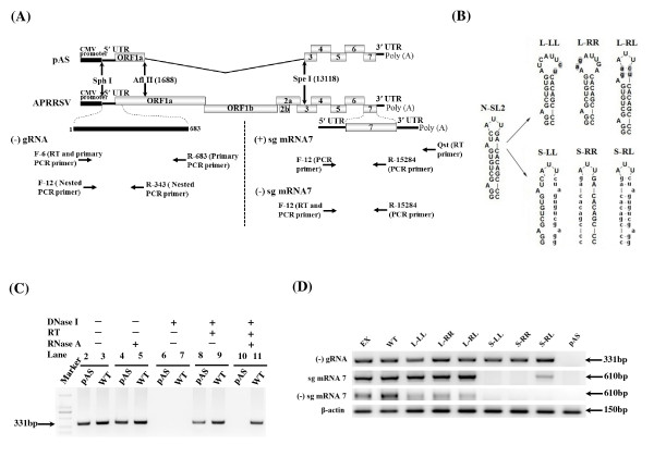 Mutational analysis of the predicted stem-loop structure in the N-SL2 . (A) Strategic representation of RT-PCR used to detect (-) gRNA, (+) sg mRNA7 and (-) sg mRNA7. The positions are according to APRRSV stain (GenBank: GQ330474 ) and all primer sequences are listed in Table 1. pAS was a non-replicative control which was absence of gene ORF1a and ORF1b (1688-13118) in full-length cDNA clone. (B) Schematic representation of the mutations introduced into the N-SL2 structure. The loop was enlarged as described in Figure 1, and mutants L-LL and L-RR were generated by overlapping PCR mutagenesis. L-RL was generated by combining the right and left arm sequences of the L-LL and L-RR, respectively, such that the overall structure of N-SL2 was restored. All the mutated nucleotides (lowercase) are highlighted in gray shading. The stem mutants, S-LL and S-RR, were generated by overlapping PCR such that one arm sequence was replaced with that of the opposite arm. The double mutant, S-RL, was generated by combining the mutations in the left and right arms such that the overall structure was restored. All mutant sequences are shown as lowercase. (C) RT-PCR of RNAs extracted from pAS and WT transfected cells at 24 hours after transfection. DNase I and RNase A were used to omit template DNA and the reverse transcriptase. The primers were nested RT-PCR primers as same as (-) gRNA detection. A 2-kbp ladder was used as a molecular size marker. The numbers indicated the lane No. (D) RT-PCR analysis of the mutants. Total cellular RNAs were extracted from mutant plasmids-transfected from BHK-21 cells at 24 hours post-transfection. β-actin is a marker for the level of intracellular RNA isolation, and pAS is a non-replicative control.