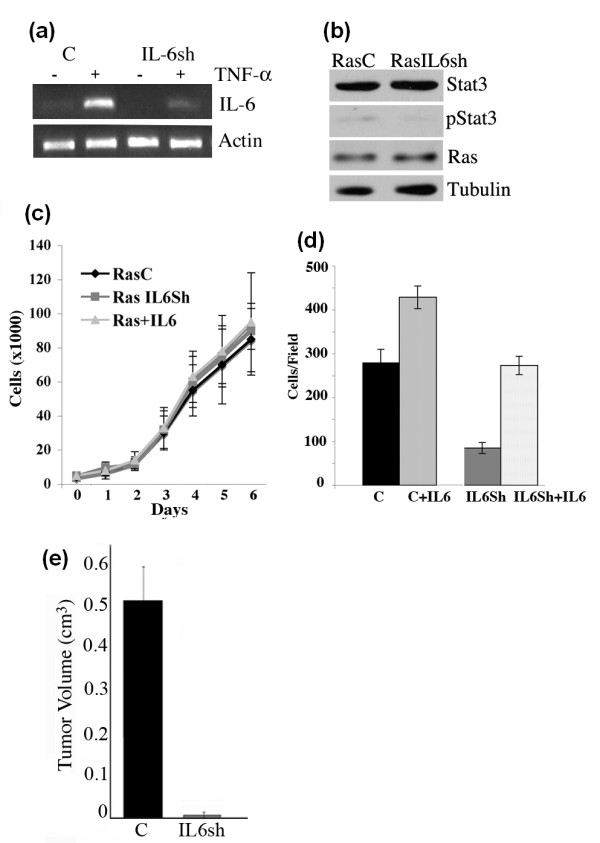 IL-6 is required for tumorigenesis of Ras transformed MCF10A cells . (a) Ras transformed MCF10A cells expressing control (C) or IL-6 shRNA (IL-6sh) were stimulated with TNF-α and analyzed for levels of IL-6 and normalized to actin by RT-PCR. (b) Extracts from MCF10A-Ras (RasC) and MCF10AIL6Sh (RasIL6sh) were analyzed for Stat3, pStat3, Ras and Tubulin levels. (c) MCF10A-Ras (RasC) and MCF10AIL6Sh (RasIL6Sh) cells were plated in six-well dishes and cell numbers were determined daily for seven days. Additionally, RasC cells were treated with IL-6 (10 ng/ml) (Ras+IL6) daily and cell numbers were determined. Each data point represents the mean value from triplicate wells. (d) MCF10A-Ras (C) and MCF10AIL6Sh (IL6Sh) cells were plated into Boyden chambers and cell migration was determined in the absence or presence of IL-6 (C+IL6, S3Sh+IL-6) with crystal violet staining after 24 hrs. Results are expressed as cells/field (mean ± SD of triplicates from three independent experiments). (e) Tumor growth in nude mice using MCF10A-Ras cells expressing control (C) or IL-6 shRNA (IL-6sh) was determined (mean ± SD from five independent injections).
