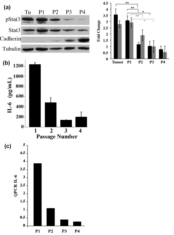 Growth of MCF10A-Ras cells in two- versus three-dimensions alters the expression levels of pStat3, IL-6 and E-Cadherin . (a) Tumors arising from immunocompromised mice injected with MCF10A-Ras cells were cultured and passaged four times on tissue culture plates. Extracts were isolated from an MCF10A-Ras primary tumor (Tu) and cultured cells following serial passage (P1, P2, P3 and P4) and analyzed for pStat3, Stat3, E-Cadherin and Tubulin by Western blot. Quantitative evaluation of pStat3/Stat3 (grey bars) and pStat3/Tubulin (black bars) immunoblots by densitometry. Results are representative of three individual experiments. Statistical significance is indicated with asterisks (*, P