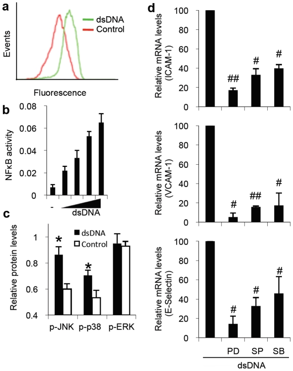 dsDNA activates NFκB and MAPK pathways, which modulate adhesion molecule expression in endothelium. (a) Fluorescence histogram of NFκB reporter clone of endothelial cells treated with Lipofectamine alone (control) or dsDNA (2 µg/ml) for 16 hours. (b) ELISA for NFκB activity in endothelial cells stimulated with a dose of dsDNA (0 to 4 µg/ml) for 6 hours. (c) Phosphorylated protein levels in endothelial cells stimulated with dsDNA (2 µg/ml) for 6 hours. (d) Q-PCR for expression of ICAM-1, VCAM-1, and E-Selectin in RHMECs after stimulation with dsDNA (2 µg/ml) for 4 hours in the presence or absence of PDTC (PD), SP600125 (SP), or SB202190 (SB), which are inhibitors of NFκB, JNK, and p38 MAPK pathways, respectively. (*P