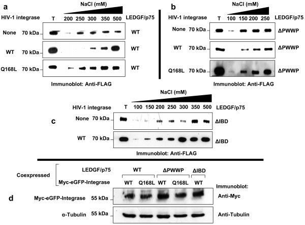 Effect of HIV-1 integrase Q168L mutant on the chromatin binding activity of LEDGF/p75 . Immunoblots show the effect of transient expression of HIV integrase WT and Q168L mutant on the chromatin binding strength of LEDGF/p75 WT (a) and LEDGF/p75 ΔPWWP (b), and the effect of HIV-1 integrase WT on the chromatin binding strength of LEDGF/p75 ΔIBD (c). LEDGF/p75 was detected with an anti-FLAG Mab. Immunoblots in (d) show the level of expression of HIV integrase WT and Q168L in cells coexpressing LEDGF/p75 WT, LEDGF/p75 ΔPWWP, and LEDGF/p75 ΔIBD analyzed in the experiments represented in (a), (b), and (c), respectively. HIV-1 Integrase was detected with an anti-Myc Mab. T represents a total cellular lysate.