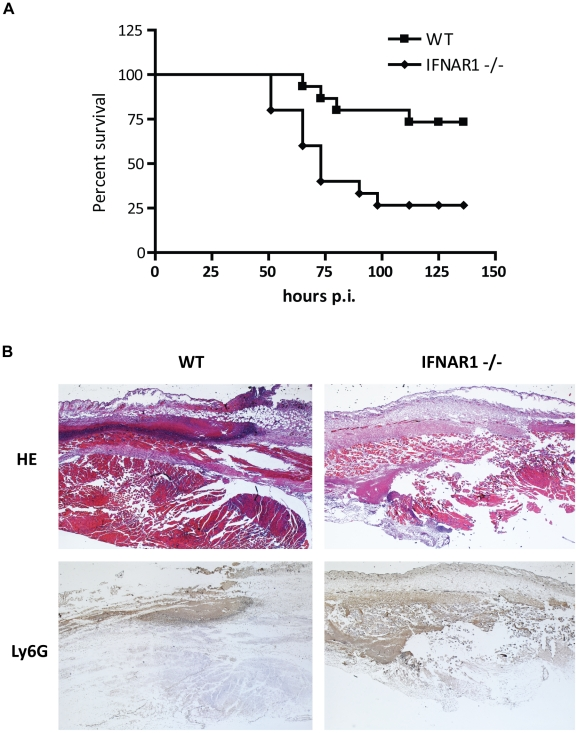Type I IFN signaling is needed for host defense against S. pyogenes and control of neutrophil recruitment. ( A ) Kaplan-Meier survival curves of C57BL/6 and IFNAR1 -/- mice (15 mice per genotype) after subcutaneous infection with 3×10 8 CFU of S. pyogenes . Survival was monitored for 6 days. Significance: ** = P value