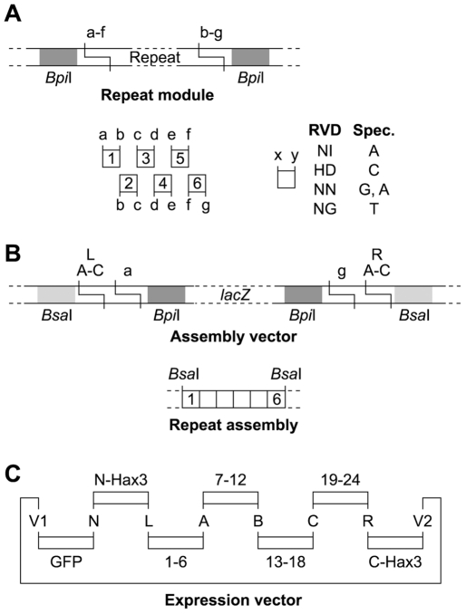 Golden TAL Technology for assembly of TAL proteins with programmed repeat composition. (A) Single TAL repeats were cloned with flanking Bpi I sites that generate specific four base pair-overhangs (a–g). Matching sites are indicated by identical letters. A library was constructed with four different repeat types (RVD, repeat variable di-residue: NI, HD, NN, NG) for each repeat position. The repeat types have different DNA-specificities (Spec., only upper DNA-strand is shown). (B) One to six repeats are assembled in specific order into an assembly vector to generate a repeat assembly with flanking Bsa I sites. (C) TALs were directly assembled with N-terminal GFP-tag into an expression vector using fragments with matching Bsa I-generated overhangs (capital letters). Insertion of one to four repeat assemblies generated TALs with 1 to 24 repeats. The last repeat is only a half repeat as typical for TAL proteins. Please see the Text S1 and Figure S4 for details.