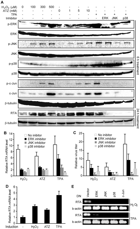 """H 2 O 2 induction of KSHV reactivation is mediated by ERK1/2, JNK, and p38 MAPK pathways. (A) Treatment with H 2 O 2 , ATZ or TPA activated ERK1/2, JNK and p38 pathways and their downstream transcriptional factor c-Jun, and induced the expression of RTA protein in BCBL1 cells harboring BAC36. Cells were treated with different concentrations of H 2 O 2 and ATZ, or TPA at 20 ng/ml with DMSO control or inhibitors of MAPK pathways including 10 µM U0126 (ERK inhibitor), 50 µM JNK inhibitor II, and 50 µM SB203580 (p38 inhibitor) for 12 h. Total ERK1/2, JNK, p38 andc-Jun, and their phosphorylated forms, RTA protein, and β-tubulin were detected by Western-blotting. (B–C) Inhibitors of MAPK pathways inhibited the induction of RTA and production of infectious virions by H 2 O 2 , ATZ and TPA in BCBL1 cells harboring BAC36. H 2 O 2 , ATZ and TPA were used at concentrations of 300 µM, 5 mM and 20 ng/ml, respectively. Inhibitors of MAPK pathways were used at concentrations described in (A). Relative RTA transcript level at 24 h of treatment was detected by RT-qPCR with untreated cells set as """"1"""" (B). Relative virus titers were determined by using supernatants collected at 5 days of treatment to infect endothelial cells and calculating the numbers of GFP-positive cells at 48 hpi (C). Virus titers from untreated cells were set as """"1"""". (D) H 2 O 2 and ATZ, and TPA at concentrations of 300 µM, 5 mM and 20 ng/ml, respectively, induced the expression of RTA transcript in 293T cells harboring BAC36. RTA transcript was detected by RT-qPCR following 24 h of treatment. (E) Dominant negative (DN) constructs of MAPK pathways inhibited the induction of RTA transcript by H 2 O 2 and TPA in 293T cells. 293T cells harboring BAC36 were transiently transfected with the control plasmid and DN constructs of ERK, JNK, p38, and c-Jun for 24 h, and treated with H 2 O 2 at 300 µM and TPA at 20 ng/ml for an additional 12 h."""