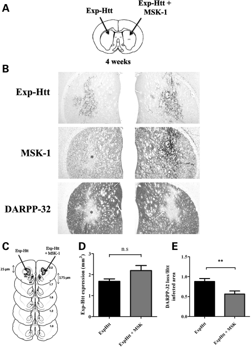 Exp-Htt-induced down-regulation of DARPP-32 is attenuated by MSK-1 overexpression 4 weeks post-infection. ( A ) The left striatum was infected with a lentiviral construct containing a gene fragment of huntingtin with 82 polyglutamine repeats (Exp-Htt) and the right striatum was infected with LV-Exp-Htt and another lentiviral construct containing the MSK-1 gene (Exp-Htt + MSK-1). ( B ) Immunocytochemical detection of Exp-Htt (upper panels), MSK-1 (middle panels) and DARPP-32 (lower panels) was performed with specific antibodies (see Materials and Methods), 4 weeks after infection. ( C ) The volume of striatal tissue showing Exp-Htt expression or DARPP-32 loss was measured on adjacent coronal sections across the rostro-caudal extension of the striatum. Seven to 10 sections per rat were analyzed (each section was 25 µm thick and was separated by 175 µm). ( D ) Graphical representation of the Exp-Htt volume expression in the rostro-caudal extension of the striatum. ( E ) Graphical representation of DARPP-32 loss/Exp-Ht infected area. Statistics: means ± SEM; eight rats per group). ns, not significant; ** P