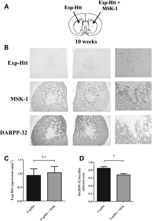 MSK-1-expressing cells exhibit DARPP-32 immunoreactivity in the area surrounding the injection point 10 weeks post-infection. ( A ) Rats were infected as indicated in Fig. 1 . ( B ) Immunocytochemical detection of Exp-Htt (upper panels), MSK-1 (middle panels) and DARPP-32 (lower panels), 10 weeks later. Note the down-regulation of both MSK-1 and DARPP-32 in the right striatum infected with LV-Exp-Ht alone. Note also the preserved expression of both MSK-1 and DARPP-32 around the injection point on the left side infected with both LV-Exp-Htt and LV-MSK-1. The right panels show a higher magnification of the area surrounding the LV-Exp + MSK-1 injection point (see square box in the middle panels). Note that all three markers, Exp-Ht, MSK-1 and DARPP-32, are expressed in this area (white arrow). ( C ) The Exp-Htt volume expression in the rostro-caudal extension of the striatum and ( D ) the DARPP-32 loss/Exp-Htt infected area were measured as described in Fig. 1 . Statistics: means ± SEM; eight rats per group. ns, not significant; * P