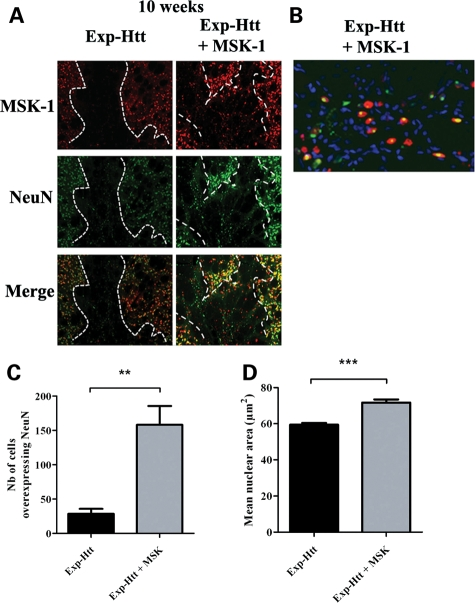 MSK-1 overexpression prevents Exp-Htt-induced neuronal dysfunction. ( A ) LV-Exp-Htt was injected in the left striatum and both LV-Exp-Htt and LV-MSK-1 were injected in the right striatum. Double staining for MSK-1 (red) and NeuN (green) was performed 10 weeks later. Left panels (Exp-Htt): note the disappearance of both MSK-1 and NeuN labeling within the dotted lines (injection point). Right panels (Exp-Htt + MSK-1): note the down-regulation of both markers within the dotted lines, despite the presence of some immunoreactive cells. Note also the overexpression of MSK-1 and NeuN in the area surrounding the injection point (outside the dotted lines). ( B ) Confocal micrograph showing the co-localization of aggregated Exp-Htt (green) and MSK-1 (red) in the area surrounding the injection point. ( C ) Cells overexpressing NeuN were quantified by image analysis, with a threshold based on mean endogenous NeuN expression. Cells exhibiting a fluorescence level above this threshold were considered positive, and were quantified in eight animals. ( D ) The mean nuclear area of cells in the area surrounding the injection point was analyzed with Hoechst staining and Image-ProPlus software. ** P