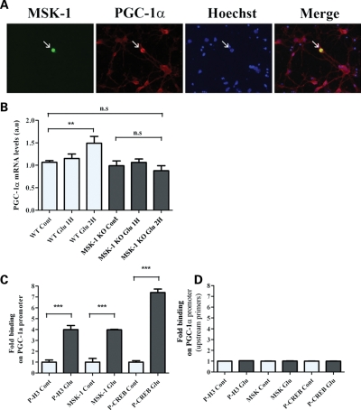 MSK-1 controls histone H3 and CREB phosphorylation at the PGC-1α promoter: ( A ) Primary cultures of striatal neurons were transiently transfected with a cDNA encoding a GFP-tagged version of MSK-1 (yellow). After 16 h, PGC-1α expression was revealed immunocytochemically (red). Note that transfected neurons overexpressed PGC-1α (arrow). ( B ) Real-time quantitative polymerase chain reaction (RT-qPCR) analysis of total RNA from striatal neurons isolated from WT and MSK-1 knock-out (MSK-KO) embryos, treated with glutamate (100 µ m ) for 1 or 2h. Primers amplifying PGC-1α and HPRT were used as internal controls. PGC-1α mRNA levels were quantified after normalization to the internal control levels (a.u.: arbitrary units). Chromatin immunoprecipitation (ChIP) followed by quantitative PCR using ( C ) primers encompassing the CRE binding site of the PGC-1α promoter, ( D ) primers located upstream this region. (C and D) Striatal neurons from WT embryos were treated (Glu) or not (Cont) with glutamate (100 µ m ) for 30 min. Immunoprecipitation was performed using specific antibodies against P-H3 (P-H3 Cont; P-H3 Glu), MSK-1 (MSK-1 Cont; MSK-1 Glu) and CREB (CREB Cont; CREB Glu). H4 immunoprecipitated chromatin was used as a negative control. The -fold increased binding on the PGC-1α promoter was determined after normalization to their appropriate input. Data are means ± SEM; three independent experiments, three points per sample in each experiment, *** P