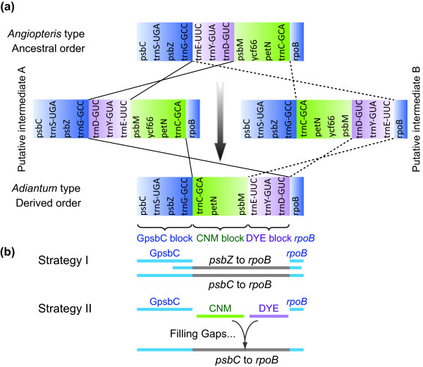 Schematic diagrams of the fern plastid gene orders from psbC to rpoB (a) and sequencing strategies (b) . Each colored gene segment shows the same gene order region among the published fern plastomes. The gene orders of
