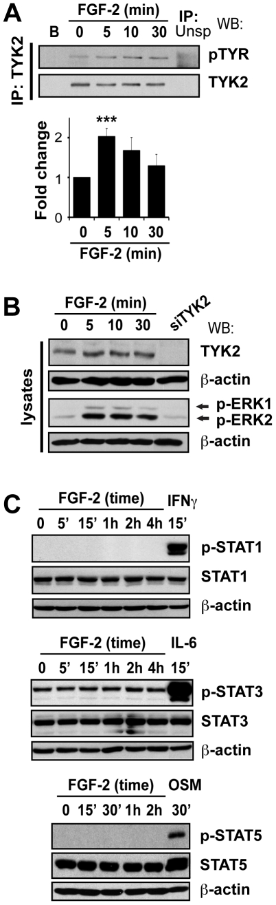 FGF-2 treatment leads to phosphorylation of TYK2, but not STAT1, STAT3 or STAT5A/B. A. FGF-2 did not induce STAT1, STAT3, or STAT5 phosphorylation. U2OS cells were serum-starved overnight and then stimulated with FGF-2 for the indicated times. Cells treated with IFN-γ (500 IU/ml), IL-6 (200 ng/ml)/sIL-6R (250 ng/ml) and OSM (50 ng/ml) were used as positive controls for activation of STAT1, STAT3 and STAT5, respectively. Proteins were analyzed as before using antibodies against phosphorylated STAT1 (Tyr 701 ), phosphorylated STAT3 (Tyr 705 ), phosphorylated STAT5 (Tyr 694 ) and antibodies that recognize both phosphorylated and unphosphorylated proteins. B. FGF-2 induced the phosphorylation of TYK2 in U2OS cells. Cells were incubated in serum-free media and then treated with FGF-2 (10 ng/ml) for the indicated times. TYK2 was immunoprecipitated and western blotting analysis was performed using antibodies against phosphorylated tyrosines and total TYK2. TYK2 was used as a loading control. C. Total cell lysates used to immunoprecipitate TYK2 and from cells transfected with siTYK2 were separated on a 7.5% SDS-PAGE gel and analyzed by western blot. Membranes were probed for TYK2, pERK1/2-Thr 202/185 /Tyr 204/187 and total ERK1/2. β-actin was used as a loading control. ' – min.