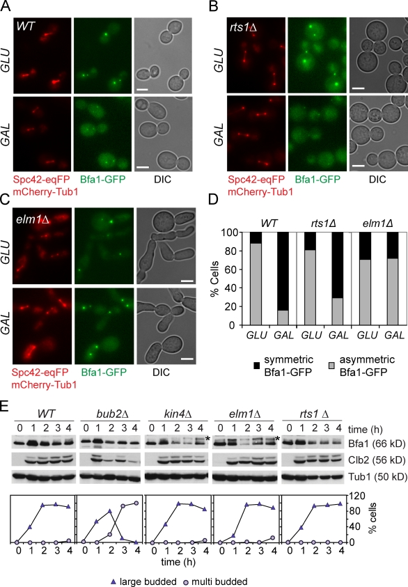 Bfa1 localization and phosphorylation in elm1Δ and rts1Δ cells. (A–C) Met3- CDC20 Gal1- KIN4 SPC42-eqFP mCherry-TUB1 cells were arrested in metaphase by Cdc20 depletion followed by the addition of galactose (GAL, induction of Gal1- KIN4 ) or glucose (GLU, repression of Gal1- KIN4 ) for 3 h. Spc42 served as an SPB marker. Localization of Bfa1-GFP at SPBs was inspected after fixing the cells with paraformaldehyde. Bars, 3 µm. (D) Quantification of A–C. Bfa1-GFP was considered symmetric if equally bound to both SPBs and asymmetric if strongly bound to one of the two SPBs. (E) The indicated strains were arrested at G1 phase with α-factor and released in nocodazole-containing media. Bfa1 and Clb2 levels were determined by immunoblotting at the indicated times. Tub1 served as loading control. Asterisks indicate hyperphosphorylated Bfa1 forms. The percentage of large- and multibudded cells was plotted versus time.