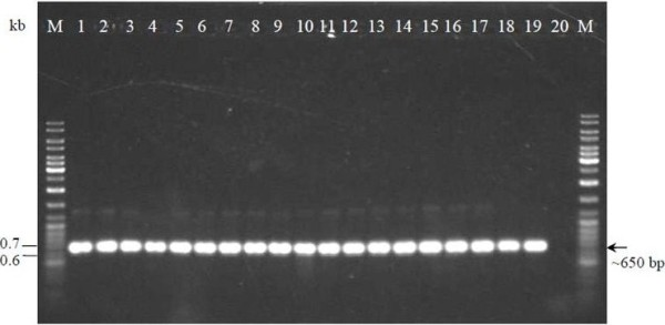 PCR-amplified partial 16S rRNA gene using P1 and P4 primers . Lane M: GeneRuler™ DNA Ladder Mix (Fermentas); Lanes 1 to 17: milk isolates; Lane 18: L. lactis subsp. cremoris MG1363; Lane 19: L. lactis subsp. lactis ATCC 11454; Lane 20: negative control.
