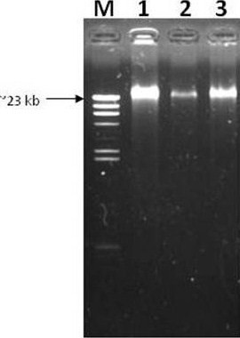 Total DNA isolation of L. lactis subsp. lactis M4 . Lane M: λ/ Hind III marker (Fermentas); Lanes 1 to 3: L. lactis M4.