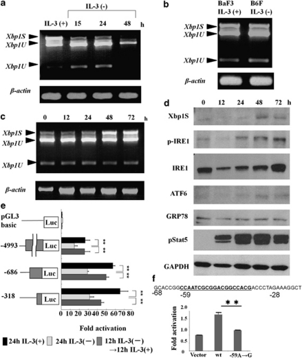 IL-3 modulates Xbp1 expression and splicing. ( a ) An RT-PCR analysis of Xbp1 . Both un-spliced and spliced forms decreased after withdrawal of IL-3. β-actin was used to confirm the quality and quantity of RNA. ( b ) Xbp1 expression is comparable between BaF3 with IL-3 and B6F without IL-3. ( c and d ) Upregulation of Xbp1S expression by IL-3 stimulation. BaF3 cells were cultured under the IL-3-free condition for 16 h. IL-3 was then added to the medium at 10 ng/ml and cells were harvested after incubation for the indicated periods. Whole cell extracts of BaF3 were subjected to RT-PCR ( c ) to detect Xbp1S and Xbp1U , and western blotting ( d ) to detect Xbp1S, phospho-IRE1, IRE1, cleaved ATF6, phospho-Stat5, GRP78 and GAPDH. Both Xbp1S upregulation and IRE1 phosphorylation was observed at 48 h after IL-3 stimulation. ( e ) Genomic DNA fragments encompassing the Xbp1 upstream region indicated were subcloned into the pGL3 basic vector. The constructs were nucleofected together with pRL-SV40 into 32Dcl3 and the cells were incubated for 24 h in growth medium containing IL-3. The cells were starved for IL-3 for 24 h and IL-3 was then added for additional 12 h. The cells were harvested at each time point and subjected to the luciferase assay. The bars represent the means of the relative luciferase activities, which were calculated by dividing the luciferase activity by the Renilla activity used as a transfection control. The means±S.D. from three independent experiments are shown ( ** P