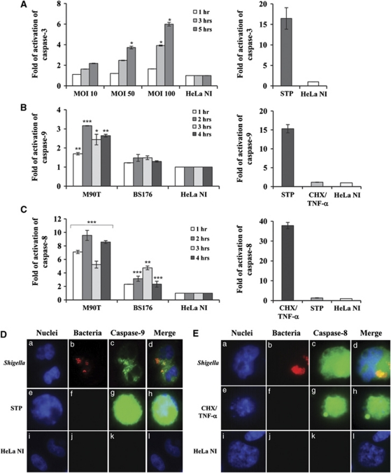 Caspase activation in HeLa cells infected with Shigella . ( A ) Kinetics of caspase-3 activation following infection of HeLa cells with M90T at different MOIs as above. ( B ) Caspase-9 and ( C ) caspase-8 activity in HeLa cells infected with M90T and its noninvasive variant BS176 (MOI of 100) at the reported time points. HeLa cells treated for 4 h with STP (2 μ M) or with CHX (10 μ g/ml) plus TNF- α (100 ng/ml) for 12 h were used as a control of caspase-9/3 and caspase-8 activation, respectively. HeLa NI, non-infected HeLa cells. Report assay data correspond to the mean±S.D. (triplicate determinations) and are representative of three independent luminometric assays. * P