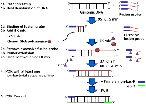 The principle of PE-PCR for bacterial DNA amplification and detection. A fusion probe is designed with the sequences at the 3′-end corresponding to the bacterial genomic sequences and a non-bacterial tag sequence at the 5′-end. The reaction is initiated by annealing the fusion probe to the template bacterial DNA after heat-denaturing at 95°C for 5 min (Step 1 and 2). An enzyme mix (EK mix) of exo I and Klenow DNA polymerase is then added into the reaction mixture and incubated at 37°C for 2 h (Step 3a and 3b). Following heat-inactivation of EK mix at 80°C for 20 min (Step 3c), a forward primer (non-bac-F) corresponding to the non-bacterial sequence of the fusion probe and a reverse primer (bac-R) targeting bacterial genomic sequence downstream of the fusion probe are used for PCR amplification of the primer extension product (Step 4). In this setting, only template bacterial DNA but not the endogenous contaminated bacterial DNA is amplified (Step 5).