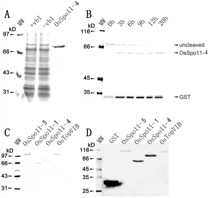 Expression and purification of OsSpo11 and OsTopVIB proteins. Proteins were separated by 10% SDS-PAGE and stained with Coomassie Brilliant Blue (A∼C) or hybridized with an antibody against GST (D). A , Expression of the 4 proteins each in S. prombe cells (OsSpo11-4 showed here as an example). Cells harboring recombinant plasmids were treated with (+vb1) or without (−vb1) vitamin B1. GST-OsSpo11-4 fusion protein from −vb1 was purified with Glutathione Sepharose 4B resin. B , Removal of GST tag from purified GST-protein fusion by thrombin digestion (OsSpo11-4 shown as an example). The reaction mixture was incubated for different times shown above the image and subjected to SDS-PAGE separation. C , Purified GST-tagged OsSpo11s and OsTopVIB. D , Western blot analysis of purified GST-tagged proteins in C with a monoclonal antibody against GST. MW, molecular weight standards.