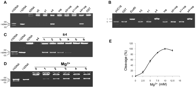 """Double-strand DNA cleavage catalyzed by purified OsSpo11 and OsTopVIB proteins. Each purified OsSpo11 and OsTopVIB protein or a combination shown above the image was added into a reaction mixture containing substrate, and purified GST was used as a control. After reaction, the mixture was subjected to agarose separation (for details, see """" Materials and methods """"). dkDNA, decatenated kDNA Marker; lkDNA, linear kDNA marker; kDNA, kinetoplast DNA; s5, OsSpo11-5; s1, OsSpo11-1; s4, OsSpo11-4; VIB, TopVIB; GST, the GST protein control. A , kDNA as a substrate. dkDNA shows relative positions of open circular nicked DNA—OC, and relaxed, closed circular monomers—CC; dkDNA and lkDNA markers were provided by the Topoisomerase Assay Kit, kDNA was used as a catenated DNA reference after incubation in a reaction mixture without protein. B , pUC18 plasmid as a substrate. pUC18 refers to a reaction containing buffer and pUC18 plasmids only (c, circular pUC18 marker). Eco RI refers to pUC18 plasmids digested by Eco RI, which cuts pUC18 only once (l, linear pUC18 marker). C , DNA cleavage reaction rate is proportioned to the concentration of OsSpo11-4. s4 refers to only reaction buffer and OsSpo11-4 were added, while 1∼6 refer to 0.5 µM, 0.4 µM, 0.3 µM, 0.2 µM, 0.1 µM and 0 µM OsSpo11-4 were added to the standard reaction, respectively. Cleavage activity was determined using kDNA decatenation assays. D , the effect of Mg 2+ on OsSpo11-4 activity. 0∼5 refer to 0 mM, 2.5 mM, 5 mM, 7.5 mM, 10 mM and 12.5 mM Mg 2 were added to the standard reaction (kDNA decatenation), respectively. E , reaction rate quantification of 0∼5 in panel D. Reaction rate was determined as a percentage of linear kDNA generated compared to the total kDNA added."""