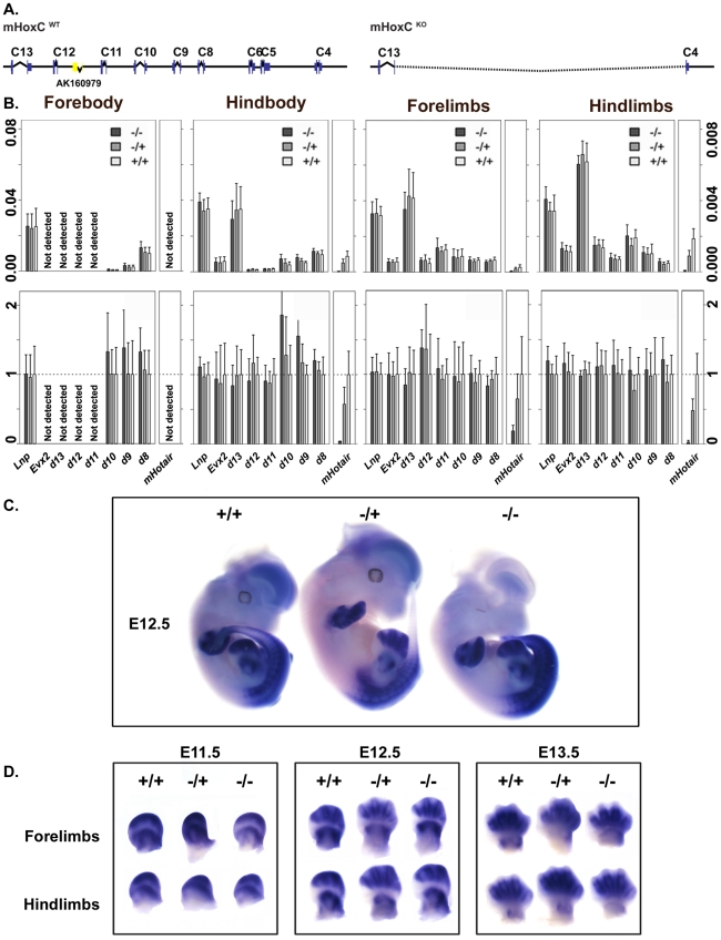 Expression analysis of different Hoxd genes in control and HoxC mutant mice. (A) Schematic representation of the wild type and the HoxC deleted allele. (B) Absolute and relative quantifications of posterior Hoxd genes transcripts and of mHotair in forebody, hindbody, forelimbs and hindlimbs of E13.5 embryos. All values are normalized to a housekeeping gene. Relative amounts were calculated as a ratio by forcing wild type values to 1. Accordingly, small values are over-represented, explaining why mHotair gives a signal after deletion of HoxC , even though it is obviously absent. (C) Whole mount in situ hybridization (WISH) of Hoxd10 on E12.5 developing embryos. The expression domains of Hoxd genes remain globally unchanged (D) Hoxd10 expression patterns in developing forelimbs and hindlimbs at three developmental stages. Expression domains of Hoxd genes remain globally unchanged at all stages of limb development examined.