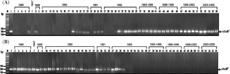 Results of MAMA-PCR for amplification of ctxB C (A) and ctxB E (B) from representative V. cholerae strains isolated in Thailand during 1986-2009. Lanes 2-6, 1986 strains; lane 7, 1987 strains; lanes 8-9, 1989 strains; lanes 10-22, 1990 strains; lanes 23-26, 1991 strains; lanes 27-36, 1992 strains and lanes 37-56, 1993-2009 strains. Lane M, 100 bp DNA marker. Lane 1 in (A) , positive control of ctxB C (569B); lane 1 in (B) , positive control of ctxB E (N16961).
