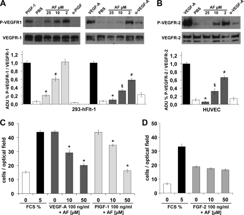 Amentoflavone inhibits VEGFR phosphorylation and HUVEC migration. A , representative pictures of Western blot analysis of VEGFR-1 phosphorylation (P-VEGFR-1) induced by 20 ng/ml of PlGF-1 or 50 ng/ml VEGF-A on cells overexpressing VEGFR-1 (293-Flt-1). AF was used at a concentration ranging between 2 and 25 μ m . As control of inhibition neutralizing antibody anti-PlGF (α-PlGF) or anti-VEGF-A (α-VEGF-A) were used at 3.3 n m . Anti-VEGFR-1 antibody was used for normalization. B , Western blot analysis of VEGFR-2 phosphorylation (P-VEGFR-2) performed in the same condition as reported in A but on HUVECs. Anti-VEGFR-2 antibody was used for normalization. Histograms represent densitometry analysis of three independent experiments, and data are represented as the mean ± S.E. ADU , arbitrary densitometric unit. *, p