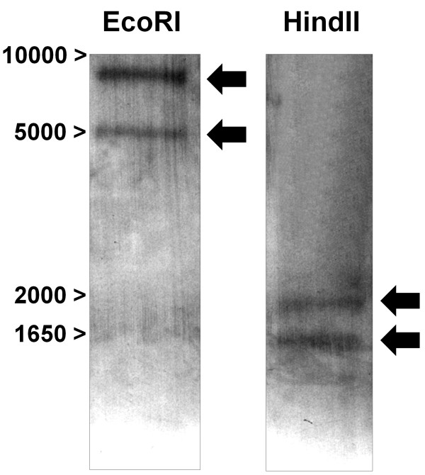 Southern blot analysis . 10 μg of genomic DNA were independently digested with EcoRI or HindII and hybridized with a DIG-labelled slc11 RNA probe. Molecular weights (bp) are indicated in the left margin.
