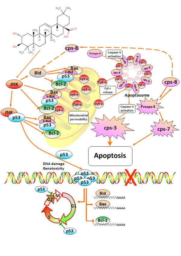 Schematic representation of the plausible molecular mechanism proposed for the induction of apoptosis by maslinic acid in HT29 colon-cancer cells . This molecular mechanism is regulated via the induction of JNK and p53, resulting in mitochondrial disruption, the release of <t>cytochrome-c</t> and finally the activation of a cascade of caspases.