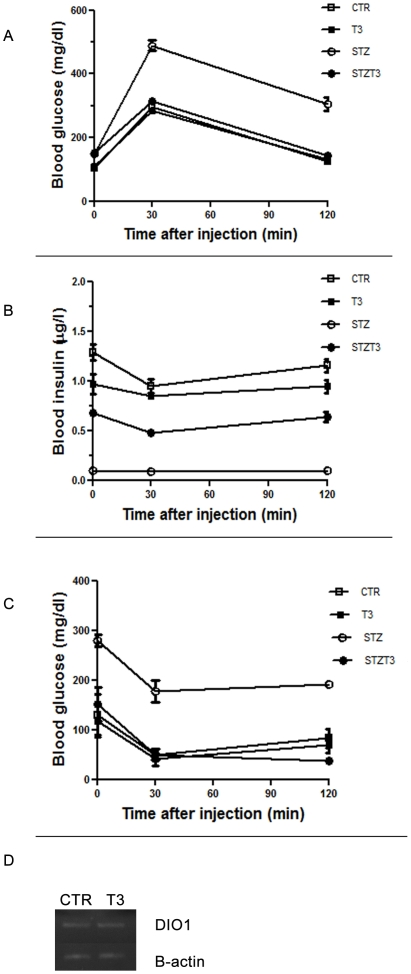 Phisiological parameters. A, B : Analysis of blood glucose and Insulin levels after intra-peritoneal glucose tolerance test (upper panels). Glycemia was measured by glucometer, while Insulin concentration was assessed by ELISA assay, as described in the Materials and Methods section. Oral administration of T3 significantly reduces severity and progression of STZ-induced diabetes in Balb/c mice and assured normal Insulin responsiveness. C : Insulin tolerance was performed (lower panel) after intra peritoneal glucose injection. Insulin was injected intraperitoneally after glucose to the different experimental groups of animals. Glycemia was measured by glucometer. Results represent the mean ± SE of three separate experiments. Grey: control black:STZ white:STZ+T3. D RT-PCR: Total RNA was extracted from liver from mice of the different experimental groups and RTPCR was performed as described in the Materials and Methods section. A single product was obtained for each gene, as showed by agarose electrophoresis. All PCR products were of the expected size and sequence. The presence of T3 did not induce any change in the DIO1 expression, as normalized to 18s.
