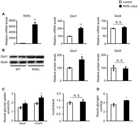 Levels of Glut 1 and Glut4, and glucose uptake in the skeletal muscle of RXRγ mice. ( A ) Gene expressions of RXRγ , <t>Glut1</t> , and 4 were examined by quantitative real-time PCR. The value for wild-type (littermates of line 4-3) mice was set at 100, and relative values are shown. ( B ) Protein levels of Glut1 and Glut4 were examined by Western blotting. Results of relative densitometric signal for Glut1 and 4 are shown. ( C ) Glucose uptake in the absence or presence of insulin and ( D ) glycogen content were increased in the skeletal muscle of RXRγ mice. Ratio of enhanced glucose uptake in the presence of insulin (insulin/basal) was similar in control and RXRγ mice. In A , B and D , the same samples were used. Mice were males of 12 weeks of age. The number of animals was 6 for both control (open bars) and RXRγ (filled bars) mice. These samples were also used in Table 1 . In C , mice were males of 24–27 weeks of age. The number of animals was 6 for both control (open bars) and RXRγ (filled bars) mice. * P