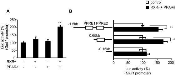 Transient transfection-reporter assay of the effect of RXRγ on Glut1 promoter. ( A ) Glut1 -Luc plasmid, with or without RXRγ and/or PPARδ expression vectors, was transfected into the quadriceps muscle of C57BL6 mice. Activation of the luciferase reporter gene was measured in relative light units and normalized to dual luciferase activity. Mean values from experiments (n = 5) are shown as fold induction, where the activity in the absence of RXRγ is the reference value (set at 100). ( B ) Schematic representations of serial deletion of Glut1 promoter constructs are shown in the figure. Squares denote the putative PPAR/RXR binding sites. Open bars; Glut1 -Luc without RXRγ and PPARδ expression vectors, and filled bars; Glut1 -Luc with RXRγ and PPARδ expression vectors. The activity in the absence of RXRγ and PPARδ in each experiment for different Glut1 -Luc construct in the reference value (set at 100). ** P