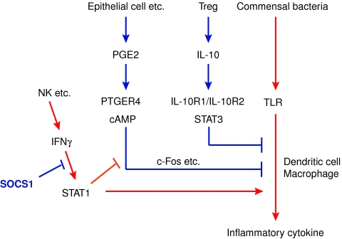A model for SOCS1-dependent and -independent mechanism of intestinal tolerance. Tolerance to commensal bacteria is regulated by two independent pathways: PGE2-cAMP and Treg-IL-10. Inflammatory cytokines, especially IFNγ, antagonize PGE2-cAMP-mediated suppression for Toll-like receptor signalling. SOCS1 negatively regulates IFNγ signalling, thus maintaining the PGE2-cAMP-mediated tolerance.