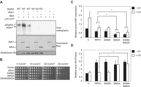 The phospho-mutant at S652 of Rph1 increases UV sensitivity and impairs the dissociation after UV irradiation. ( A ) In vitro kinase assay was performed by recombinant Rph1 or BSA incubated with or without V5-IP WT or KD Rad53 supplied by γ 32 P-ATP. The signal was detected by autoradiography. pRad53 indicated the autophosphorylation of Rad53. pRph1 indicated the phosphorylation of Rph1. Coomassie Blue and immnoblotting (anti-V5) showed the loading controls. ( B ) UV sensitivity of rph1Δ cells containing control vector, WT Rph1 ( RPH1 ) or phospho-defective Rph1 mutants. ( C and D ) The indicated strains as in (B) were harvested for RT-qPCR to detect PHR1 expression in response to UV or not (C) and for HA-ChIP to measure the association of Rph1 at URS of PHR1 (D). Error bars show the SD of three biological repeats. * P