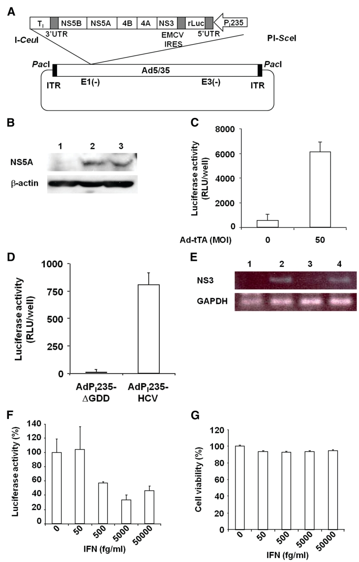 Preparation of Ad vector to monitor HCV replication. ( A ) Construct of Ad vector. The Ad vector contained the chimeric RNA pol I promoter (P I 235) and the HCV replicon to monitor HCV replication as the luciferase expression. ( B ) Expression of HCV NS5A protein in Huh7 cells transfected with AdP I 235-HCV. The cells were transfected with AdP I 235-HCV (10 MOI) and Ad-tTA (50 MOI). After 72 h of incubation, the cells were harvested, and the lysates (30 µg) were subjected to SDS–PAGE, followed by immunoblotting with antibody against NS5A. Huh7 cells and Huh7.5.1 1bFeo cells were used as the negative and positive controls, respectively. Lane 1, Huh7 cells; lane 2, Huh7 cells infected with AdP I 235-HCV; lane 3, Huh7.5.1 1bFeo cells. ( C ) Expression of luciferase in the Ad vector-transfected cells. Huh7 cells were co-infected with AdP I 235-HCV (10 MOI) and 0 or 50 MOI of Ad-tTA. After an additional 48 h of incubation, the luciferase activity was measured. Data represent the mean ± SD ( n = 3). ( D ) Involvement of NS5B in expression of luciferase in the Ad vector-transfected cells. Huh7 cells were infected with AdP I 235-HCV or AdP I 235-ΔGDD (3 MOI) and Ad-tTA (15 MOI). After 24 h, the cells were treated with 10 µg/ml of Dox for 48 h. Then, the luciferase activity was measured. Data represent the mean ± SD ( n = 3). ( E ) Expression of minus-stranded HCV RNA in the Ad vector-transfected cells. Huh7 cells were co-infected with AdP I 235-HCV or AdP I 235-ΔGDD at 3 MOI and Ad-tTA at 15 MOI. After 24 h, the cells were treated with 10 µg/ml of Dox for 48 h. Then RT-PCR analysis was performed for detection of minus-stranded HCV NS3 and GAPDH. The PCR products were separated on 2% agarose gel. Huh7 cells and Huh7.5.1 1bFeo cells were used as the negative and positive controls, respectively. Lane 1, Huh7 cells; lane 2, Huh7.5.1 1bFeo cells; lane 3, Huh7 cells infected with AdP I 235-ΔGDD; lane 4, Huh7 cells infected with AdP I 235-HCV. ( F and G ) Effect of IFN on the repl