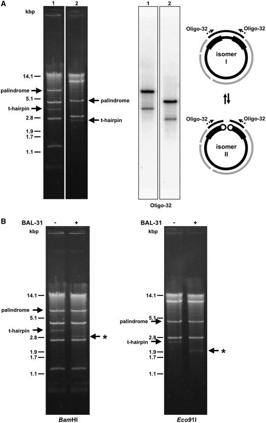 Circular- and linear-mapping genome isomers in mitochondria of C. viswanathii. ( A ) The mtDNA samples were digested with BamHI (lane 1) or Eco91I (lane 2) and separated in 1% (w/v) agarose gel. The Southern blot was hybridized with radioactively labeled oligonucleotide probe Oligo-32 derived from the large palindrome (shown as dashed arrows). The solid arrows show positions of the palindrome and the presumed terminal fragments of resolved linear molecules capped with t-hairpins. Scheme shows presumed circular- (I) and linear-mapping (II) genome isomers. ( B ) Isolated mtDNA was treated or untreated with BAL-31 nuclease (0.2 U for 5 min). The mtDNA was then extracted from the reaction, digested with BamHI or Eco91I endonuclease, and electrophoretically separated. Note that the fragments containing presumed t-hairpins were sensitive to BAL-31 nuclease (indicated by asterisk).