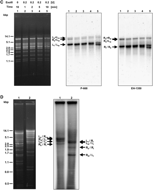 Multipartite linear-mapping genomes in C. labiduridarum and C. frijolesensis ( A ) PFGE separated samples of C. labiduridarum NRRL Y-27940 (lane 1) and C. frijolesensis NRRL Y-48060 (lane 2) were blotted onto a nylon membrane and hybridized with the radioactively labeled probes P-668 and H-1030 (regions hybridizing with both probes are shown as dashed lines). Presumed master (I) and two smaller chromosomes (II and III) are indicated. Note that the master chromosome occurs in four isomers (i.e. L III − R III − L II − R II (shown in the scheme), L III − R III − R II − L II , R III − L III − L II − R II and R III − L III − R II − L II . 'L' and 'R' indicate the left and the right telomere, respectively). The C. frijolesensis mtDNA (∼1 µg) was digested with BAL-31 nuclease ( B ) or exonuclease III (ExoIII) ( C ) as indicated. After nuclease inactivation, the DNA was digested with EcoRV, separated in 0.9% (w/v) agarose gel. The Southern blots were hybridized with the P-668 and EH-1350 probes specific for the left and the right arm of the master chromosome, respectively (see 'Materials and Methods' section). Arrows show the positions of the left (L) and right (R) terminal fragments and their fusions (R + R, R + L and L + L). Note that after ExoIII treatment the telomeric fragments form two subpopulations that differ in their sensitivity to the ExoIII treatment. This indicates that the linear mtDNA molecules possess an open structure with 5′ overhang or blunt end or covalently closed t-hairpin. ( D ) The C. frijolesensis mtDNA was treated with antarctic phosphatase and labeled with [γ 32 P]ATP and T4 polynucleotide kinase. The mtDNA was then digested with restriction endonuclease EcoRV (lane 1) or BglII (lane 2) and separated in 0.8% (w/v) agarose gel (left panel). The gel was fixed in 10% (v/v) methanol/10% (v/v) acetic acid for 30 min, dried overnight and autoradiographed (right panel). Arrows indicate the position of telomeric fragments containing the open structures ac