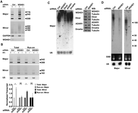 Roles of WDHD1 in the expression of centromeric repeat non-coding RNA. ( A ) Expression levels of centromeric non-coding RNA spanning major and minor satellite repeats was examined by RT–PCR analysis of RNA isolated from control (ctrl) or WDHD1 knockdown NIH-3T3 cells. Total RNA samples were treated with <t>DNase</t> I prior to reverse transcription. '−' denotes RT-minus reactions in which no reverse transcriptase was added. Expression levels of the housekeeping gene GAPDH , and WDHD1 are also shown. ( B ) Effect of WDHD1 knockdown on the transcription rates of minor and major satellite repeat region, as indicated. Nuclear run-on assays were performed to monitor newly transcribed centromeric RNA from nuclei of control (ctrl) and WDHD1 knockdown NIH-3T3 cells. U5 snRNA, which remained unchanged in both cell types, was used to demonstrate uniformity of input RNA. '–' denotes RT-minus reactions in which no reverse transcriptase was added. Quantitative results are shown by bar graph below, and represent the mean ± SD of three independent experiments. For statistical significance of quantitative comparisons, calculations were done by (* P