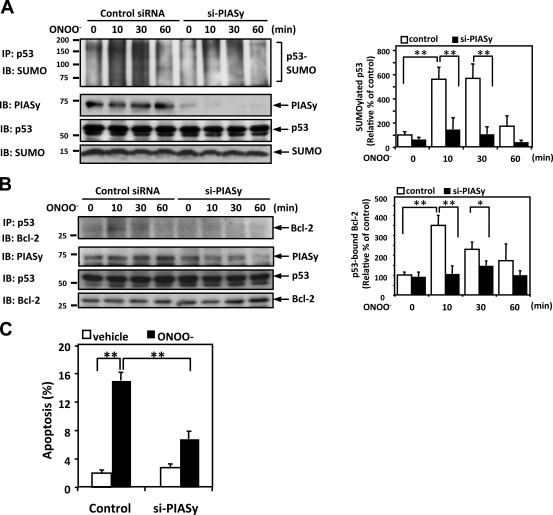 ONOO − induces p53 SUMOylation and p53–Bcl-2 binding via PIASy activation. (A and B) HUVECs were transfected with PIASy siRNA (si-PIASy) or control siRNA for 48 h and then stimulated with 100 µM ONOO – for the indicated times. p53 SUMOylation (A) and p53–Bcl-2 binding (B) were determined as described in Materials and methods. (left) PIASy and p53 expressions were detected by Western blotting with appropriate specific antibodies. Densitometric analyses of p53 SUMOylation (A) and p53–Bcl-2 binding (B) were performed as described in Fig. 1 . (C) HUVECs were transfected with PIASy or control siRNA for 48 h. After treatment with 100 µM ONOO − for 8 h, apoptotic nuclei were detected by TUNEL staining. Data are expressed as mean percentages ± SD from three independent experiments. *, P