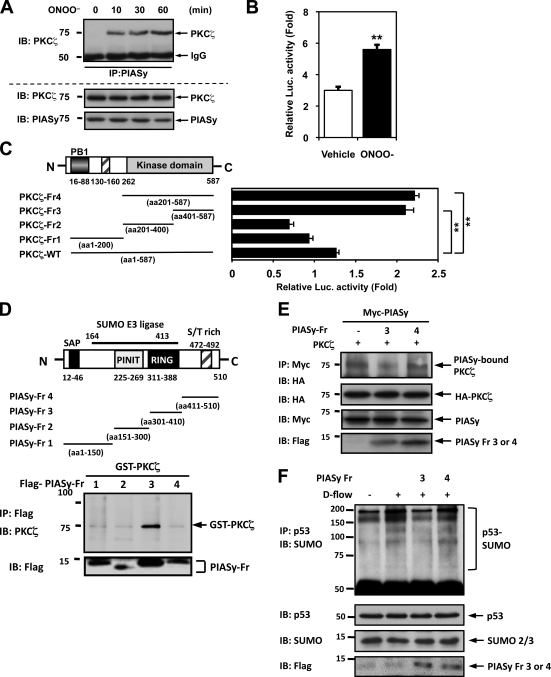 PKCζ–PIASy association is critical for <t>p53</t> SUMOylation and p53–Bcl-2 binding. (A) HUVECs were stimulated with 100 µM ONOO – for the indicated times and subjected to immunoprecipitation with anti-PIASy followed by Western blotting with anti-PKCζ (top). (B and C) Association between PKCζ and PIASy was tested by a mammalian two-hybrid assay. HeLa cells were transfected with plasmids containing Gal4-PKCζ wild type and VP16-PIASy (B) or truncated mutants of VP16-PIASy (C) as well as the Gal4-responsive luciferase reporter pG5-luc. After 24 h of transfection, cells were stimulated with 100 µM ONOO − or vehicle for 16 h, and luciferase activity was quantified. Luciferase activity was normalized with the Renilla luciferase (Luc.) activity ( Woo et al., 2008 ). Data are representative of three experiments using two or more different preparations of ECs (means ± SD; **, P