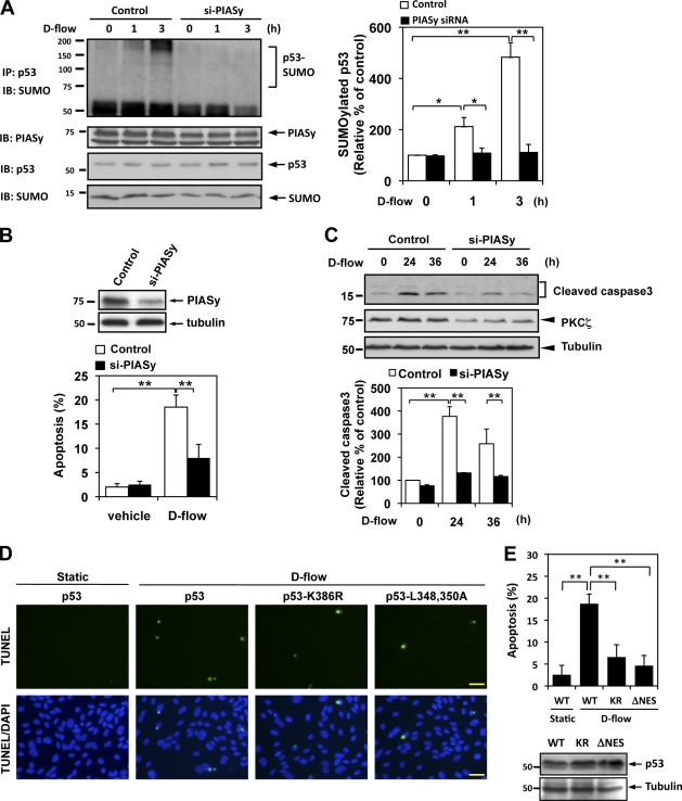 D-flow induces p53 SUMOylation and apoptosis via PIASy activation. (A) HUVECs were transfected with PIASy siRNA (si-PIASy) or control siRNA for 48 h and then stimulated with d-flow for the indicated times. p53 SUMOylation, expression of PIASy, p53, and SUMO2/3 were detected as described in Material and methods. Densitometric analyses of p53 SUMOylation were performed as described in Fig. 1 . (B and C) HUVECs were transfected with PIASy or control siRNA for 48 h. After treatment with d-flow for 36 h, apoptotic nuclei were detected by TUNEL staining (B, bottom), and Western blotting with anti–cleaved caspase 3 (C, top) was performed. Immunoblots of PIASy conformed depletion of PIASy by the specific siRNA (B, top). Densitometry analysis of cleaved caspase 3 expression was performed as described in Fig. 2 C (bottom). The experiments were performed in triplicate using three different batches of d-flow–stimulated HUVECs. (D) HUVECs were transduced with an adenovirus vector containing p53, p53-K386R (KR; sumoylation defect mutant), or p53-ΔNES (L348,350A; NES mutant) for 24 h and then stimulated with d-flow for 36 h followed by TUNEL staining as described in Materials and methods. (E, top) Quantification of apoptosis shown as the percentage of TUNEL-positive cells. Bars, 30 µm. (bottom) Equal expressions of p53, p53-K386R, and p53-ΔNES were analyzed by Western blotting in ECs. Data are from three separate experiments using two or more different EC preparations. Error bars show means ± SD; *, P