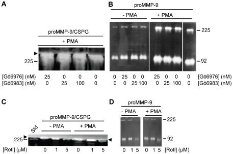Effect of PKC inhibitors on THP-1 cells synthesis of proMMP-9/CSPG heteromer and proMMP-9. Shown is a typical experiment where cells in the absence (−) and presence (+) of PMA (10 −7 M) were incubated with various concentrations of the PKC inhibitors Gö6976 and Gö6983 ( A, B ) and Rottlerin ( C, D ). In the presence of Gö6976 and Gö6983 ( A, B ), cells were incubated for 72 h, while in the presence of Rottlerin ( C, D ) the cells were incubated for 12 h in serum free medium. To detect the effect of the PKC inhibitors on the synthesis of the proMMP-9/CSPG heteromer ( A, C ), the harvested media was applied to Q-Sepharose chromatography as described in Materials and Methods prior to gelatin zymography. To determine the effect of the inhibitors on the synthesised proMMP-9 ( B, D ), the harvested medium was diluted 20 times and then applied to gelatin zymography. Arrowhead shows the border between the separating and stacking gel and the position of purified proMMP-9 monomer (92 kDa) and proMMP-9 homodimer (225 kDa) used as a standard (Std) is shown.