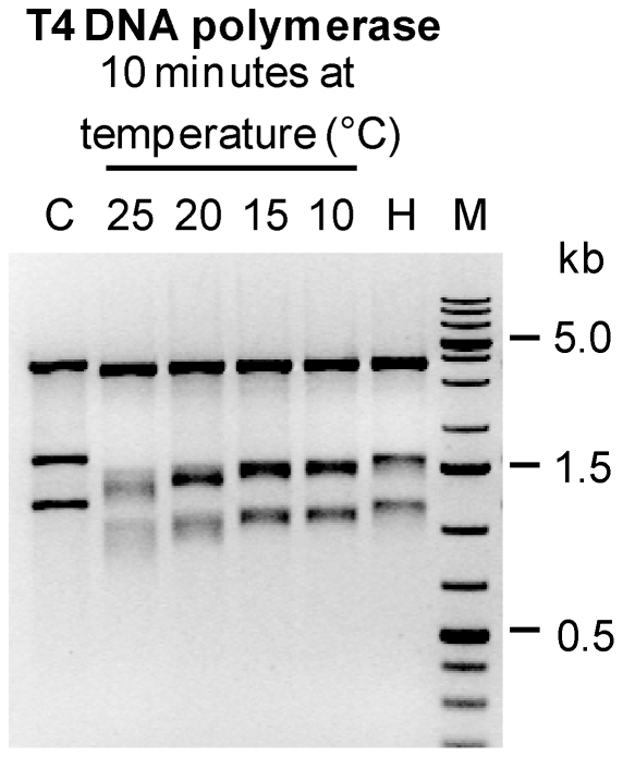 Quantification of T4 DNA polymerase exonuclease activity. Sac II/ Nde I-digested plasmid DNA (3 fragments, lane C) was treated with T4 DNA polymerase for 10 minutes at 25°C, 20°C, 15°C and 10°C. The T4 DNA polymerase was then inactivated by incubation at 80°C for 5 min. The single-stranded ends generated by the 3′ to 5′ exonuclease activity T4 DNA polymerase were removed by using Mung Bean nuclease. The size of the resulting fragments was analyzed by agarose gel electrophoresis. As a control for the heat inactivation of T4 DNA polymerase, digested plasmid DNA was inactivated at 80°C for 5 minutes immediately after addition of T4 DNA polymerase (lane H).
