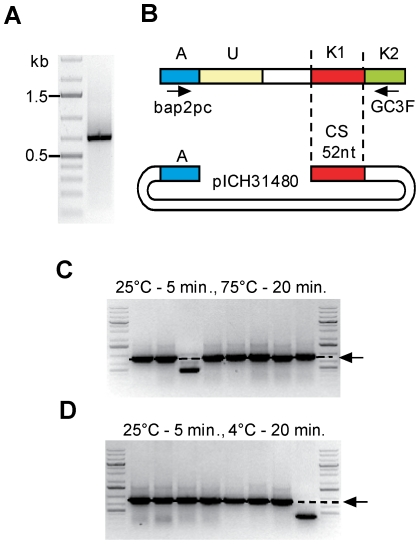 Test of QC cloning performed with or without heat inactivation. ( A ) PCR product amplified from G-tailed cDNA prepared from biopsy sample T019 using primers bap2 pc and GC3F. ( B ) Structure of the vector and of the PCR product. ( C , D ) The PCR product was cloned into pICH31480 using T4 DNA polymerase treatment for 5 minutes at 25°C (A, adaptor; U, unknown sequence; K, known sequence; CS, catching sequence), followed by heat inactivation 20 min at 75°C ( C ) or incubation at 4°C ( D ). Eight randomly chosen clones were analyzed by colony PCR using vector primers. The products amplified by colony PCR were separated on a 1% agarose gel supplemented with ethidium bromide and visualized under UV light. The expected insert size is indicated by an arrow.