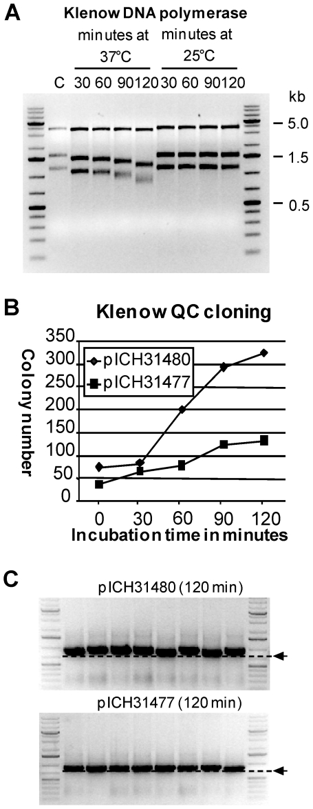 Test of QC cloning using Klenow DNA polymerase. (A) Test of Klenow exonuclease activity determined using the same assay used for T4 DNA polymerase. (B) To test QC cloning using Klenow DNA polymerase, the PCR product T019 GC3F was cloned into pICH31477 (23 nucleotide catching sequence) and pICH31480 (52 nucleotide catching sequence). Incubation was performed at 37°C for 0, 30, 60, 90, and 120 minutes. ( C ) Eight randomly chosen clones from 120 min time points were analyzed by colony PCR using vector primers. The size of the expected full-length fragment is indicated by an arrow.