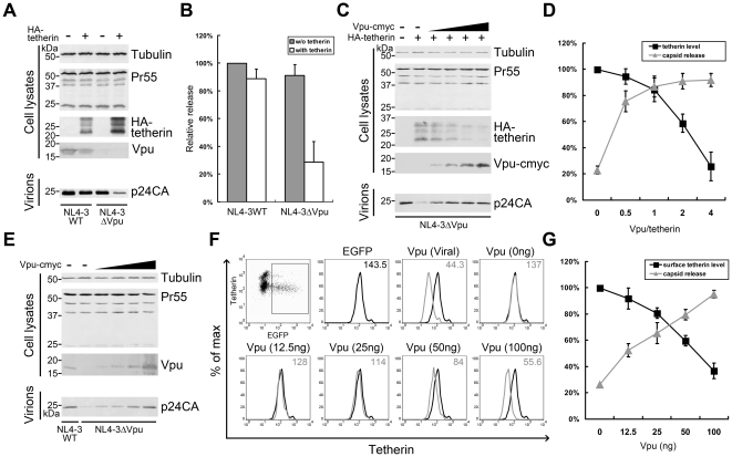 Roles of degradation and surface downregulation in Vpu-induced tetherin dysfunction. (A) 293T cells were co-transfected with 1 µg pNL4-3 WT or pNL4-3ΔVpu and 50 ng HA-tetherin or empty vector. At 48 h, the cells were examined for tetherin expression, and the pelleted virions were analyzed for p24 content. Pr55Gag was examined to exclude variations in transfection efficiencies. Tubulin was detected as a loading control. (B) The relative infectivity of virus released in (A) was assayed by infecting MAGI cells. Virus release of NL4-3 WT in the absence of tetherin was set to 100%. (C) 293T cells were co-transfected with 1 µg pNL4-3ΔVpu, 50 ng HA-tetherin and increasing doses of Vpu. HA-tetherin and Vpu-cmyc were detected in the cells. (D) The cellular tetherin levels and virus released were plotted in a line graph. The tetherin level in the absence of Vpu was set to 100%. Viral output was scored by titration of the supernatants on MAGI cells, and that without tetherin was set to 100%. (E) HeLa cells were co-transfected with 1 µg pNL4-3ΔVpu or WT, along with 500 ng pEGFP-N3, and increasing doses of Vpu. Vpu was detected in the cells with Vpu antiserum, and the pelleted virions were analyzed for p24 content. (F) Surface tetherin of cells in (E) were stained with tetherin antibodies and analyzed by flow cytometry. Cells only transfected pEGFP-N3 was used as a negative control. The samples were gated on EGFP+ cells, and surface tetherin levels are shown in histograms with median values at the top right corner. (G) The levels of surface tetherin and virus released are shown in a line graph. The tetherin level in the negative control was set to 100%. Viral output was scored by titration of the supernatants on MAGI cells, and that of NL4-3 WT was set to 100%. All values are representative of three independent experiments.