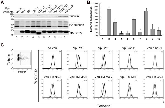 Effects of Vpu TM mutations on Vpu-mediated degradation and surface downregulation of tetherin. (A) 293T cells were co-transfected with 100 ng HA-tetherin expression plasmid along with 200 ng VR1012 control vector or VR1012 encoding Vpu TM variants at a 2∶1 molar ratio. At 48 h post-transfection, the cells were harvested for immunoblotting analysis. Tetherin and Vpu were detected with anti-HA and anti-myc antibody, respectively. Tubulin was detected as a loading control. (B) Tetherin levels were measured using Bandscan software and normalized by tubulin levels. Percentages of degraded tetherin were calculated by subtracting the densitometric intensity values of the indicated Vpu WT or mutant bands from that of the mock band to represent the different abilities of Vpu variants to mediate tetherin degradation. Values are representative of three independent experiments. (C) HeLa cells were co-transfected with 500 ng pEGFP-N3 along with 500 ng VR1012 control vector or VR1012 encoding Vpu TM variants. Cell surface tetherin was stained with BST-2 antibodies, followed by Alexa 633 goat anti-mouse IgG and analyzed by flow cytometry. Samples were gated on EGFP+ cells, and the surface tetherin levels are shown in the histograms with median values at the top right corner.