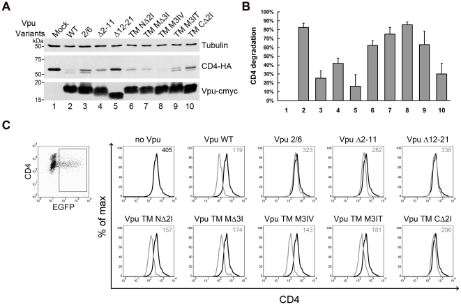 Effects of Vpu TM mutations on Vpu-mediated degradation and surface downregulation of CD4. (A) 293T cells were co-transfected with 100 ng CD4-HA expression plasmid along with 200 ng VR1012 control vector or VR1012 encoding Vpu TM variants. At 48 h post-transfection, the cells were harvested for immunoblotting analysis. CD4 and Vpu were detected with anti-HA and anti-myc antibodies, respectively. Tubulin was detected as a loading control. (B) CD4 levels were measured using Bandscan software and normalized by tubulin levels. Percentages of degraded CD4 were calculated by subtracting the densitometric intensity values of the indicated Vpu WT or mutant bands from that of the mock band to represent the different abilities of Vpu variants to mediate CD4 degradation. Results shown are the average of two independent experiments. (C) HeLa CD4 cells were co-transfected with 500 ng pEGFP-N3 along with 500 ng VR1012 control vector or VR1012 encoding Vpu TM variants. Cell surface CD4 was stained with CD4 antibodies followed by Alexa 633 goat anti-mouse IgG and analyzed by flow cytometry. Samples were gated on EGFP+ cells, and the surface CD4 levels are shown in the histograms with median values at the top right corner.