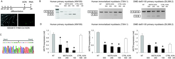 Myostatin exon 2 skip in several myotubes cultures . Human primary control (KM109) and DMD patient derived- (DL589.2) myoblasts were differentiated for 7 days before transfection with MSTN AON. Immortalized control (7304.1) myoblasts were differentiated for 2-3 days. A non-targeting, fluorescently-labeled AONs were transfected as control. Fluorescent nuclei were observed three hours post-transfection (A). RNA was isolated 2 days post-transfection. cDNA was synthesized using random hexamer (N6) primers and subjected for PCR using primers in exon 1 and 3 (B). Note the inverse dose-dependent skips in KM109 samples. Skip fragment was confirmed by sequencing analysis (C). Quantitative real-time PCR was performed using primers in MSTN exon 1 and 2, thereby depicting the expression of remaining full length or non-skipped transcript (D). Data are means ± SD from 3 to 4 independent experiments. Expression was normalized with GAPDH. Statistical analysis was performed using Student's t-test, using the 500 nM control AON-transfected samples as reference. *P