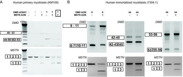 Dual exon skipping of myostatin and dystrophin in control cells . KM109 (A) and 7304-1 (B) myotubes were transfected with 200 nM of myostatin AON and AON targeting different DMD exons, namely exon 8, 44 and 54. The AONs were premixed (boxed) before complexing with the transfection reagent, or directly complexed (not boxed). RNA was isolated two days post-transfection and analyzed for myostatin or dystrophin skips by RT-PCR.