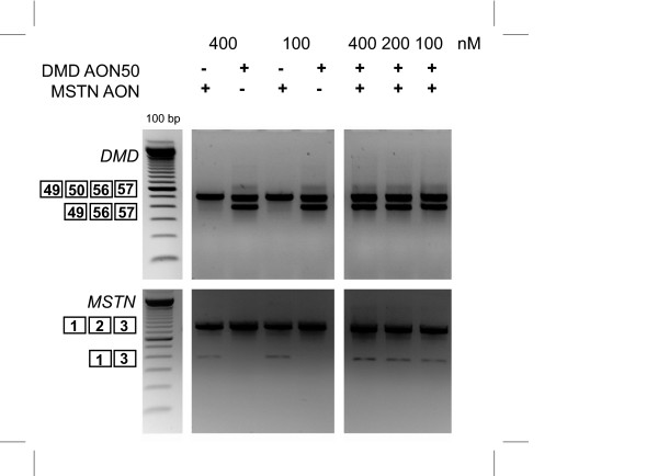 Dual exon skipping of myostatin and dystrophin in DL589.2 DMD patient cells . DL589.2 myotubes were transfected with 200 nM of myostatin AON and h50AON1 DMD AON. <t>RNA</t> was isolated two days post-transfection and analyzed for myostatin and dystrophin skips by <t>RT-PCR.</t>